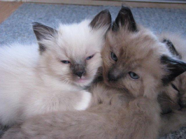 Acaramia Ragdolls of West Virginia - Ragdoll Kittens & Cats